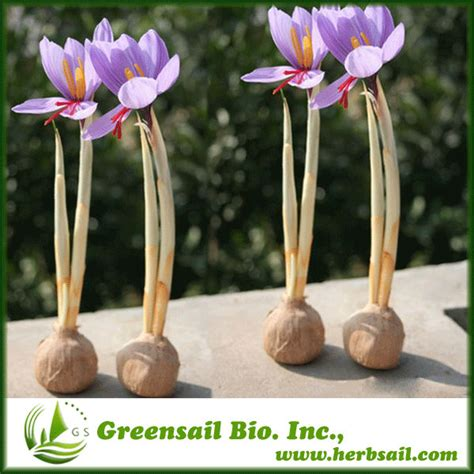 saffron seed seeds for planting products china