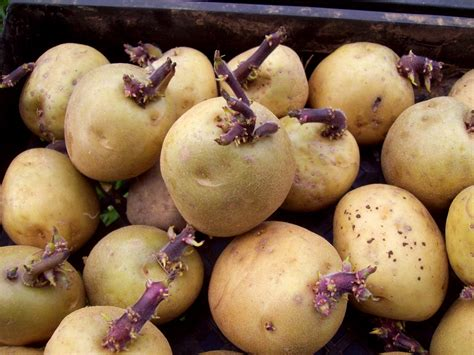 what are seed potatoes ardcarne garden centre boyle roscommon town