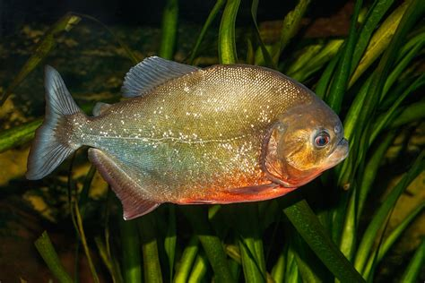 Pygocentrus nattereri - Wikimedia Commons