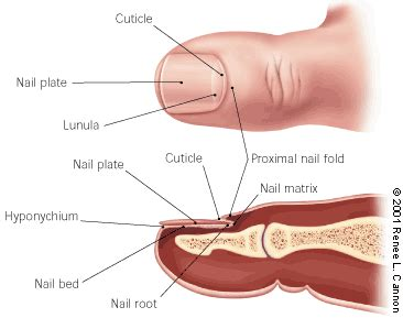 nails definition function grow and health health