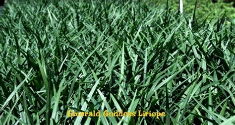 emerald goddess liriope grass