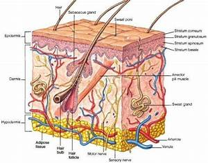 Hypodermis Skin Layers