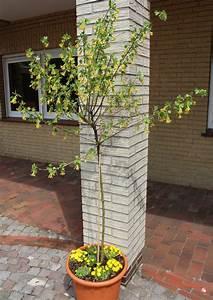 Hopfen Im Kübel Pflanzen : vierbeere black saphir ~ Markanthonyermac.com Haus und Dekorationen