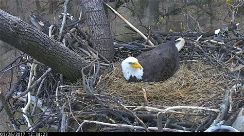 aef dc eagle cam mr p gets startled and eggs 3 26 17