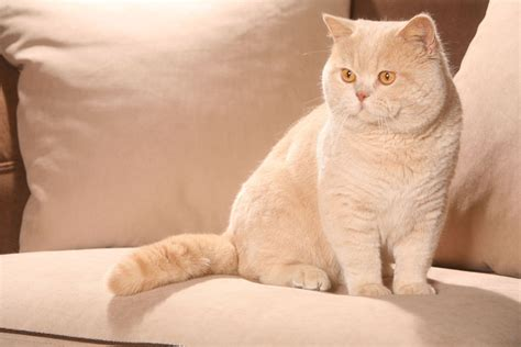 british shorthair cat cat breeds encyclopedia