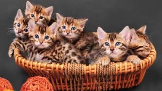 cat rentals me best cat breeds for apartment living realtor 174