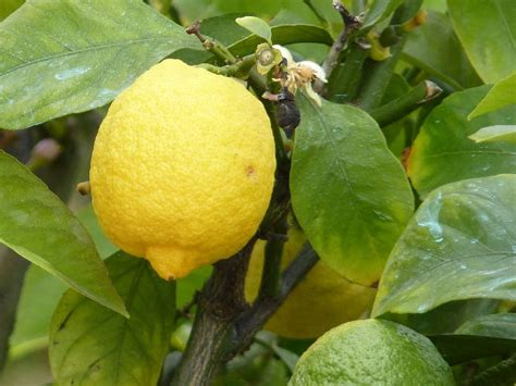 zitronenkerne einpflanzen zitronenbaum selber ziehen