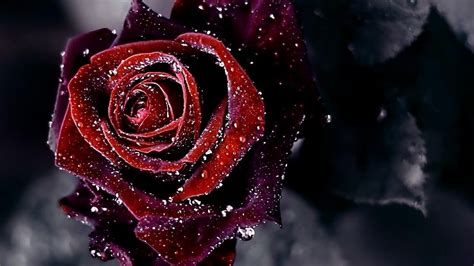 Red-rose-dark-flower-background-hd-wallpaper