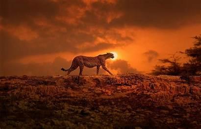 Africa Kenya Cheetah Cat Sun Gepard Afrika