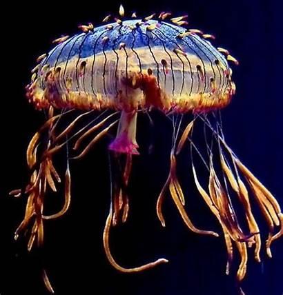 Jellyfish Ocean Amazing Sea Creatures Colorful Animals