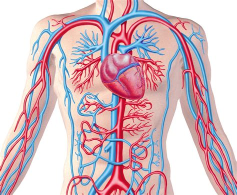 William Harvey And Human Circulatory