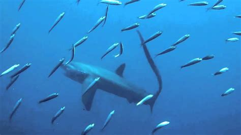 Thresher Shark Hunting