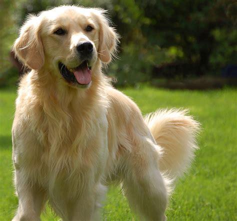 Happy Golden Retriever Puppy Dog With Green Grass