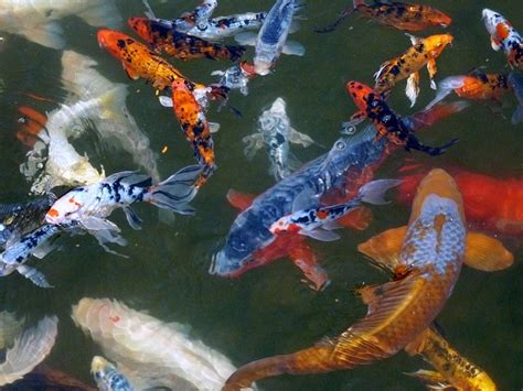koi fish color meaning koi fish color meaning an introduction to koi symbolism