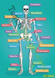 The Human Skeletal System Poster