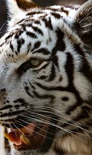 _DSC6933   Wildlife World Zoo-White Tiger   Born_Hiker ...