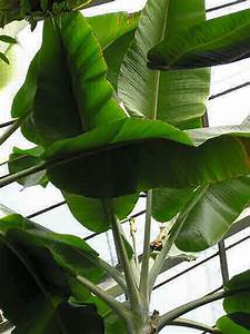 Pflanze Mit Großen Blättern : banana a plant not only in kite building die banane ~ Michelbontemps.com Haus und Dekorationen
