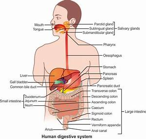 A Draw Diagram Of Human Alimentary Canal And Label The
