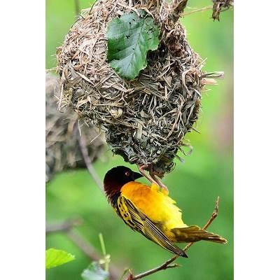 African Weaver Bird NestingBirds!Pinterest