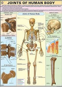 Joints Of The Body For Human Physiology Chart At Rs 190