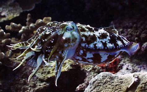 broadclub cuttlefish oceana