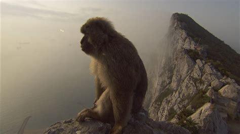 seeking peace  gibraltars famed monkeys  human