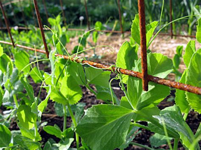 How Plants Climb, Climbing Plants, Trellises, Vines