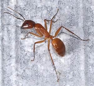 Big Red Ant - Camponotus Castaneus
