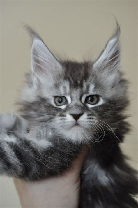 maine coon kittens  sale european maine