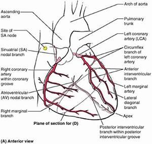 Coronary Arteries  Anterior View