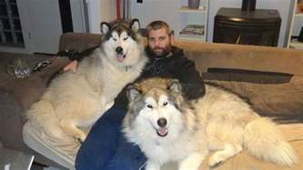 they are giant alaskan malamutes if you are wondering