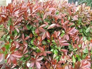 Acheter Des Plantes : photinia x fraseri 39 red robin 39 haies acheter des plantes en ligne ~ Melissatoandfro.com Idées de Décoration