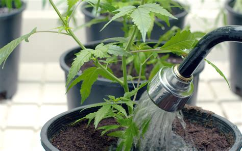 pictures of watering plants tips for watering your cannabis plants effectively leafly