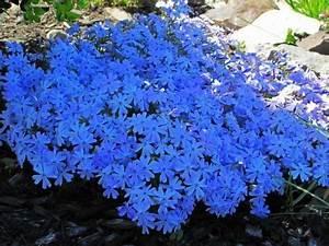 Blühende Pflanzen Winterhart : blauer polsterphlox garten pinterest blau ~ Michelbontemps.com Haus und Dekorationen