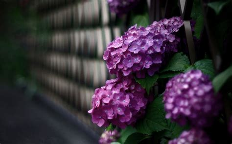 Beautiful Flowers Hydrangea Hd Desktop Wallpapers 4k Hd