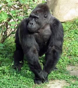 Cross River Gorilla Endangered | www.imgkid.com - The ...