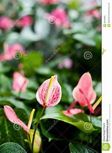 Image Gallery pink spathiphyllum