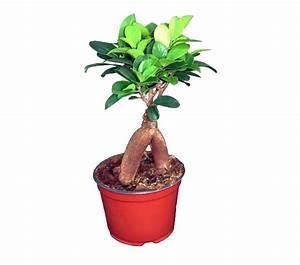ort zimmer lexikon fur krauter und pflanzen With whirlpool garten mit bonsai ficus ginseng