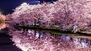 Sakura: la fioritura dei ciliegi in Giappone Fito