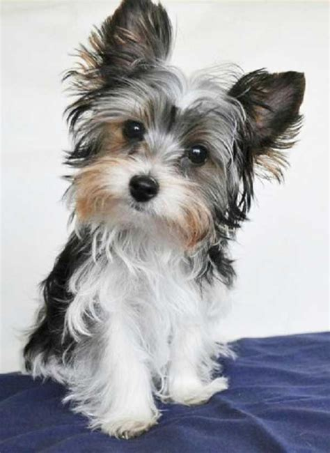 Images Of Yorkies Parti Yorkies What Is A Parti Yorkie With Pictures