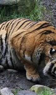 Amur Tiger | The largest of all the tigers, comes from the ...