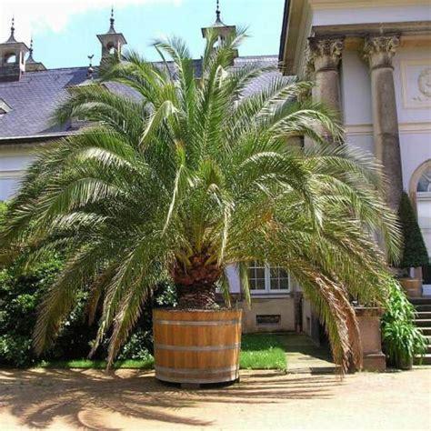entretien palmier en pot canariensis entretien croissance et infos utiles