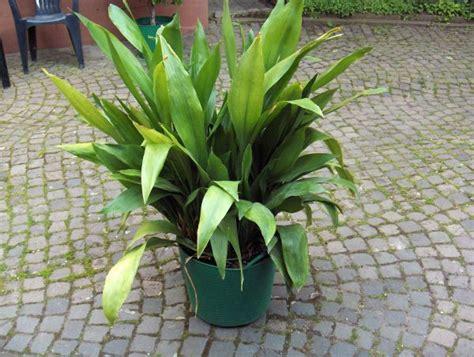 Schusterpalme Als Zimmerpflanze by Omas Waschzuber Kaufen Omas Waschzuber Gebraucht Dhd24