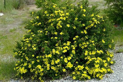 Potentilla, Goldfinger - Galbraith's Landscaping and Lawn ...