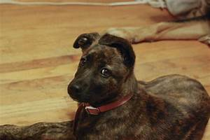 German Shepherd Mixed With Boxer And Pitbull | www.imgkid ...