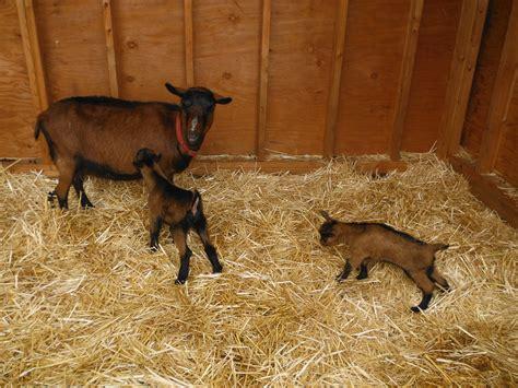 Getting To Know Goats The Basics Farm Arcadia