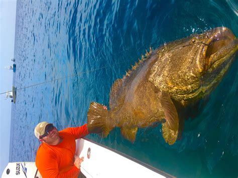grouper giant goliath ft fishing chew island hutchinson guide diver charters alchetron female