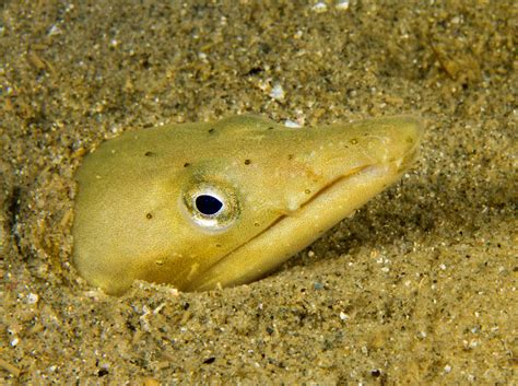 species focus snake eel ophisurus serpens dive magazine