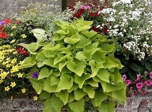 Patate Douce Plante : patate douce planter et cultiver ooreka ~ Dode.kayakingforconservation.com Idées de Décoration