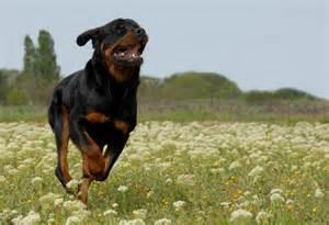 Rottweiler Biggest Dog in the World